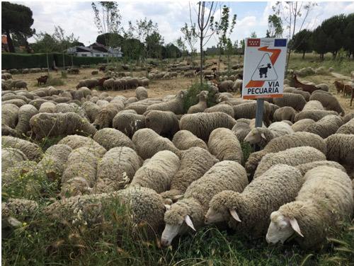 Incian la trashumancia de primavera los rebaños de los pastores y pastoras que colaboran con el Proyecto Life Cañadas